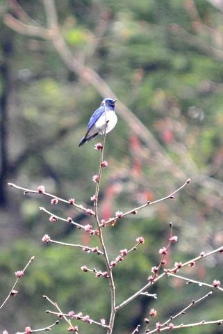 日本3大鳴鳥!コマドリ・オオルリ!_b0165760_1257725.jpg