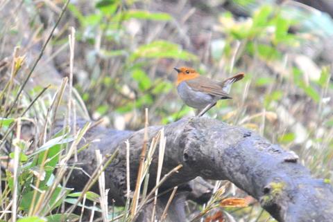 日本3大鳴鳥!コマドリ・オオルリ!_b0165760_1323757.jpg