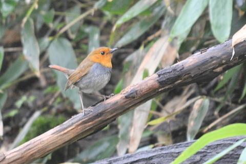 日本3大鳴鳥!コマドリ・オオルリ!_b0165760_133920.jpg