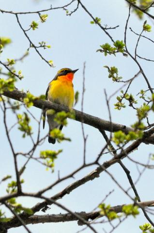 日本3大鳴鳥!コマドリ・オオルリ!_b0165760_1371926.jpg