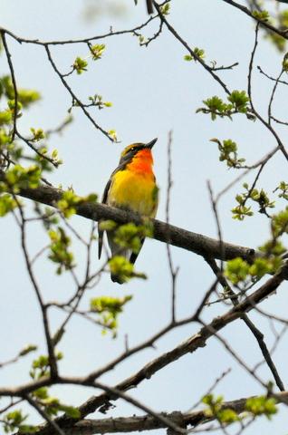 日本3大鳴鳥!コマドリ・オオルリ!_b0165760_137483.jpg