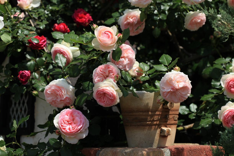 薔薇の季節♪_f0158364_14202865.jpg