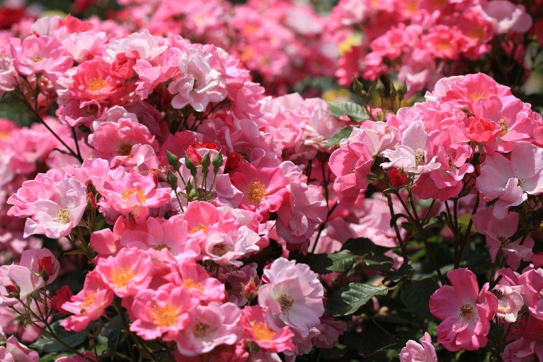 薔薇の季節♪_f0158364_14221214.jpg