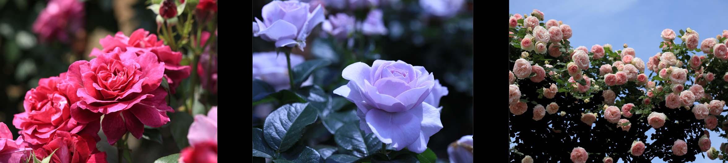 薔薇の季節♪_f0158364_14232871.jpg