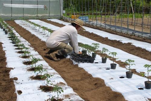 トマト苗(1回目)を植える_c0110869_15492581.jpg