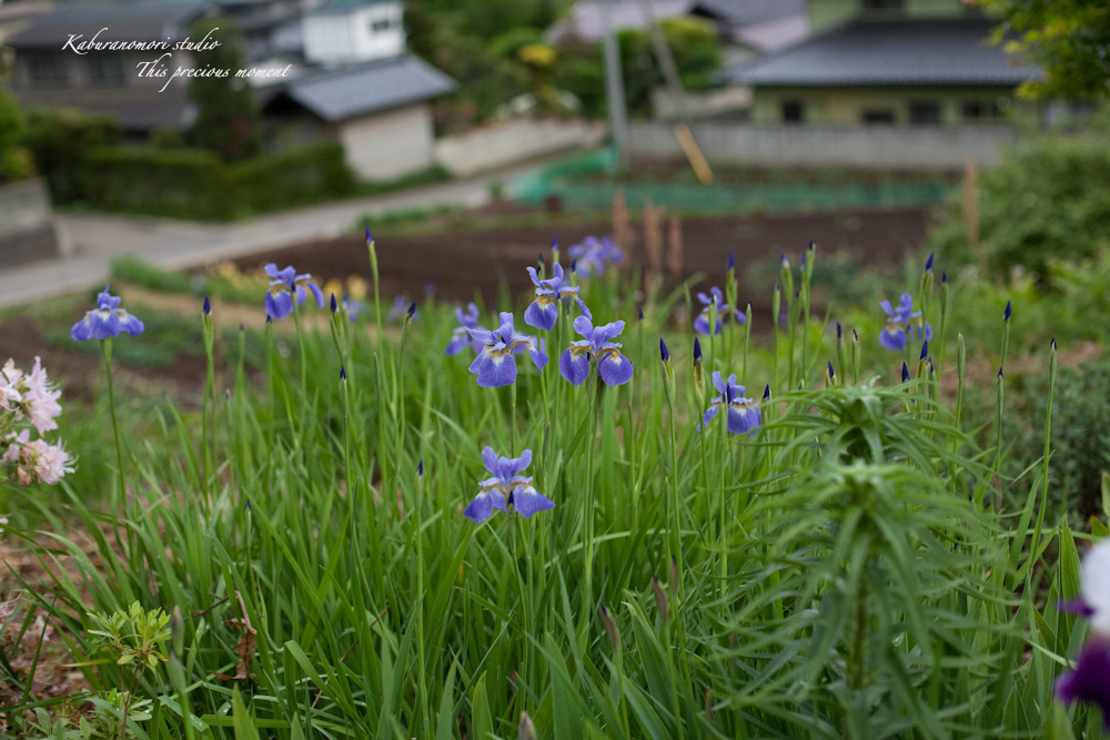 谷間に香るフジの花_c0137403_2112215.jpg