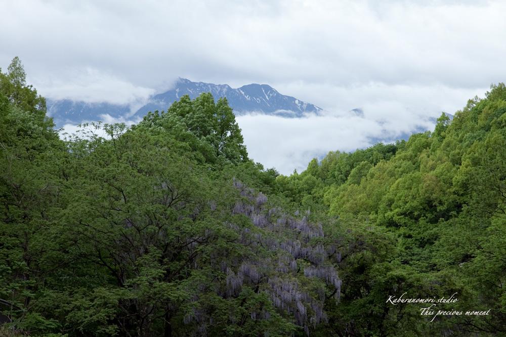 谷間に香るフジの花_c0137403_218523.jpg