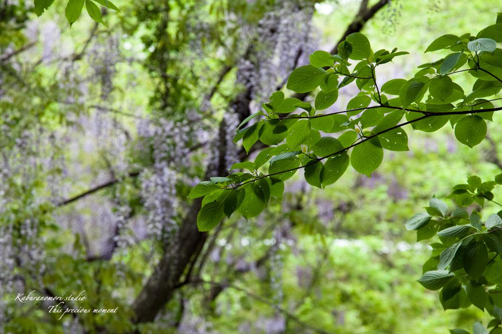 谷間に香るフジの花_c0137403_2193591.jpg