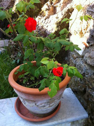 薔薇に魅せられて_d0136540_2244832.jpg