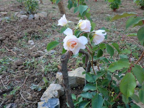薔薇に魅せられて_d0136540_238648.jpg