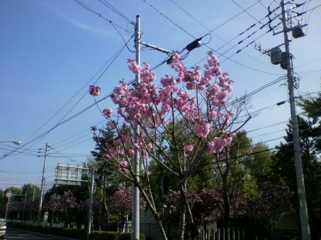 函館のさくら_b0106766_1633509.jpg