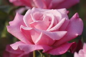 自分の名前のバラ発見!_b0007182_2334274.jpg