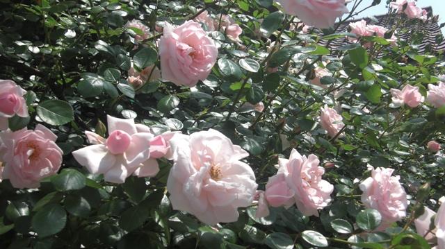 私達は花達と一緒に復興に向かいました。(83)_d0181492_9322119.jpg
