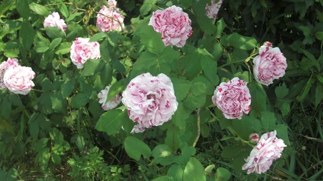 私達は花達と一緒に復興に向かいました。(83)_d0181492_9375349.jpg