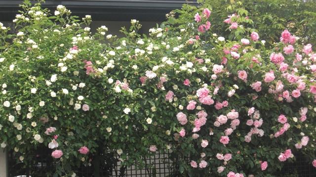 バラの花、春の花が元気に咲いています。(84)_d0181492_9442615.jpg