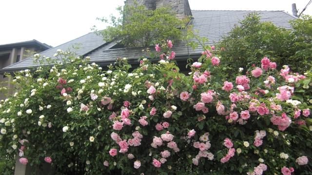 バラの花、春の花が元気に咲いています。(84)_d0181492_9444486.jpg