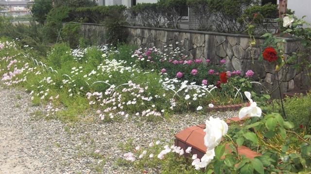 バラの花、春の花が元気に咲いています。(84)_d0181492_9471335.jpg