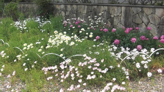 バラの花、春の花が元気に咲いています。(84)_d0181492_9473157.jpg