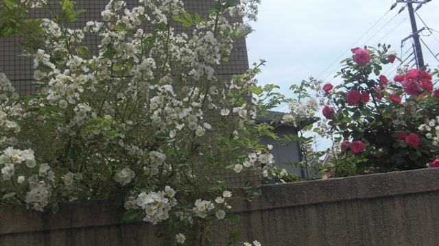 バラの花、春の花が元気に咲いています。(84)_d0181492_947449.jpg