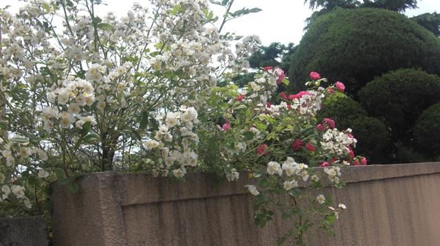 バラの花、春の花が元気に咲いています。(84)_d0181492_9475712.jpg