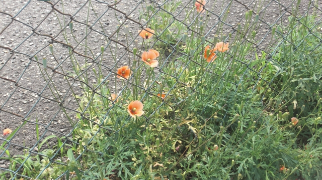 花達が元気をくれました・・・・(85)_d0181492_9485356.jpg