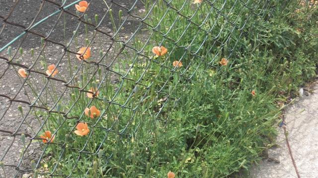 バラの花、春の花が元気に咲いています。(84)_d0181492_9491710.jpg