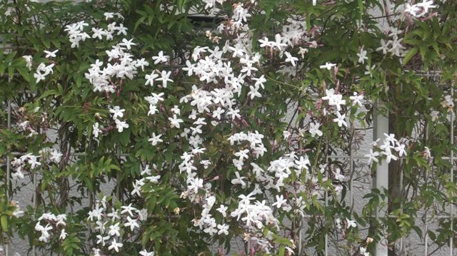 バラの花、春の花が元気に咲いています。(84)_d0181492_949318.jpg