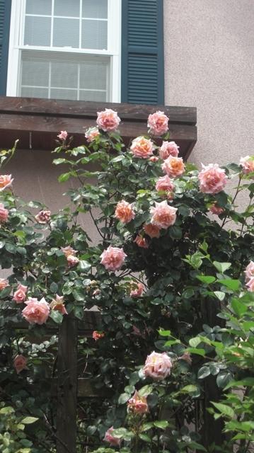 バラの花、春の花が元気に咲いています。(84)_d0181492_9501186.jpg