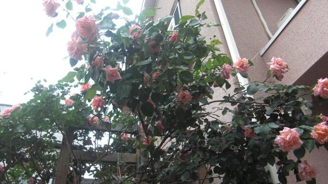 バラの花、春の花が元気に咲いています。(84)_d0181492_951409.jpg