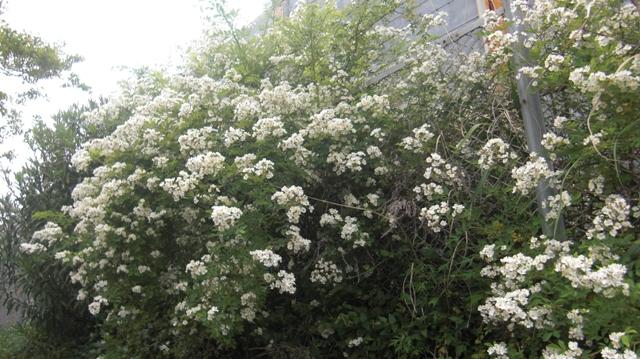 バラの花、春の花が元気に咲いています。(84)_d0181492_9531416.jpg