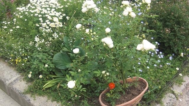 バラの花、春の花が元気に咲いています。(84)_d0181492_9535880.jpg