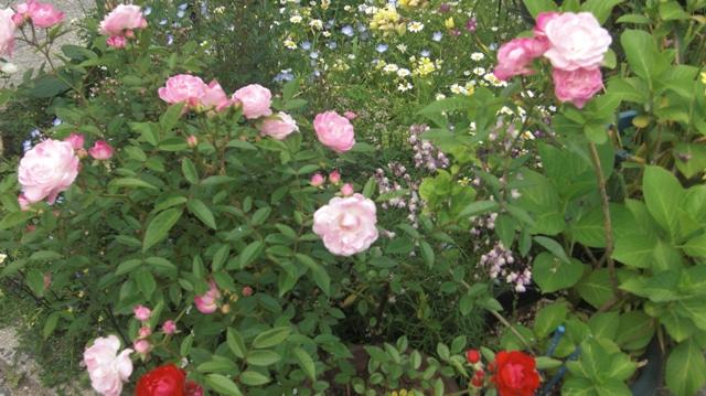 バラの花、春の花が元気に咲いています。(84)_d0181492_9542492.jpg