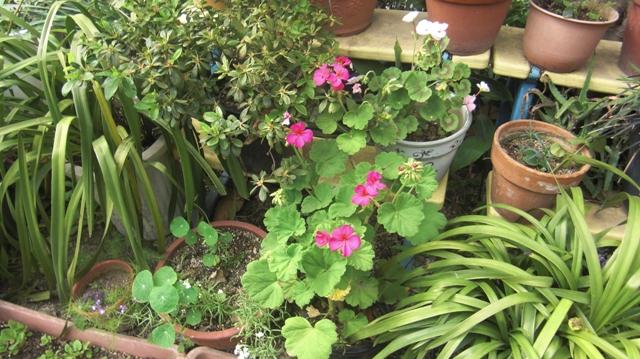 バラの花、春の花が元気に咲いています。(84)_d0181492_954449.jpg