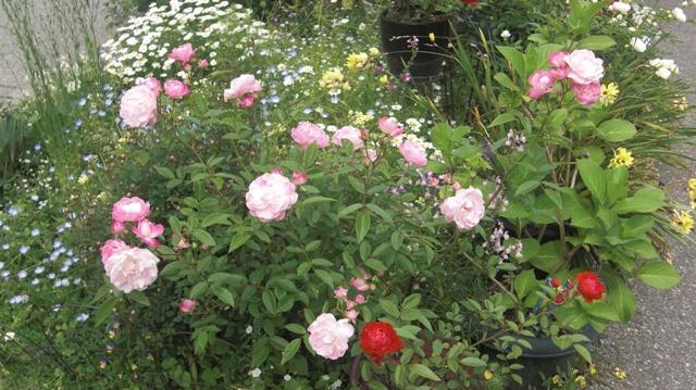 バラの花、春の花が元気に咲いています。(84)_d0181492_954993.jpg