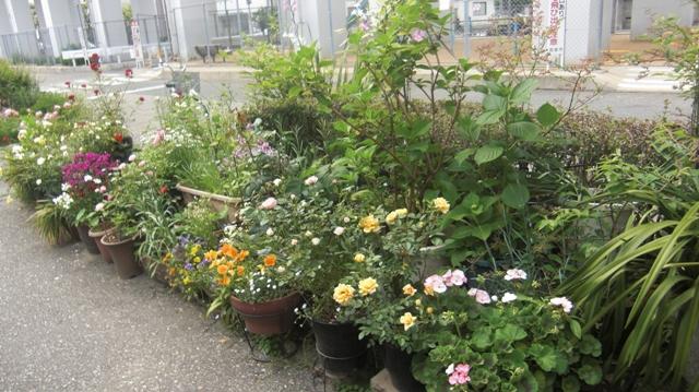 バラの花、春の花が元気に咲いています。(84)_d0181492_9551533.jpg