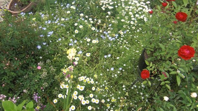 バラの花、春の花が元気に咲いています。(84)_d0181492_9552747.jpg