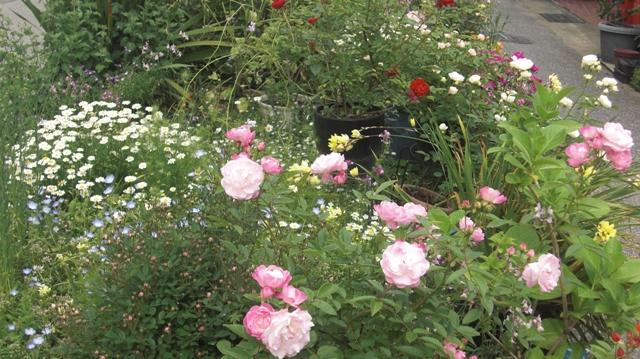 バラの花、春の花が元気に咲いています。(84)_d0181492_9562963.jpg
