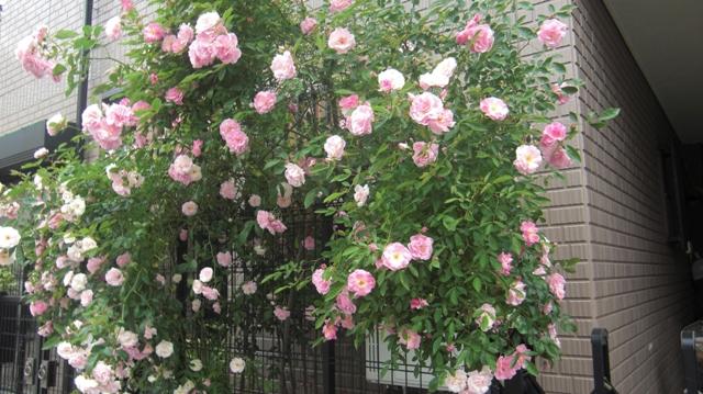バラの花、春の花が元気に咲いています。(84)_d0181492_9563993.jpg