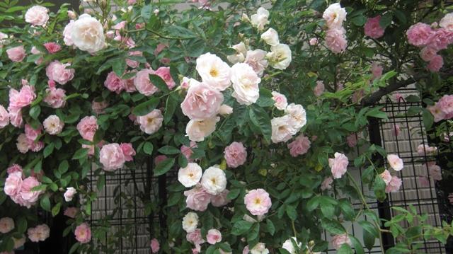 バラの花、春の花が元気に咲いています。(84)_d0181492_95650100.jpg