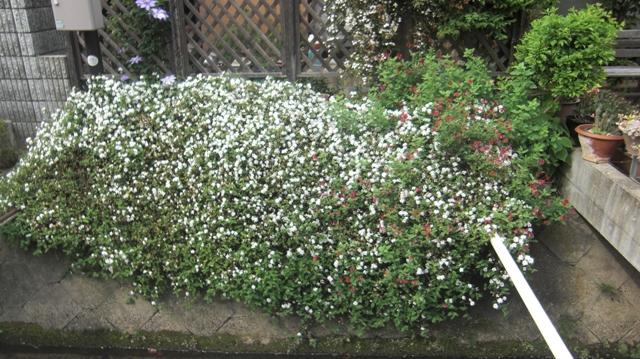 バラの花、春の花が元気に咲いています。(84)_d0181492_9571339.jpg