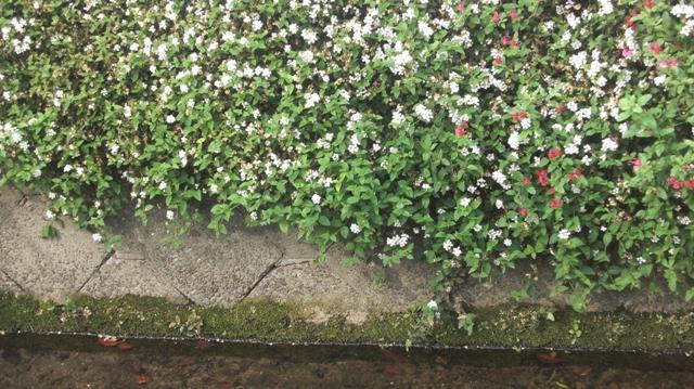 バラの花、春の花が元気に咲いています。(84)_d0181492_9572467.jpg