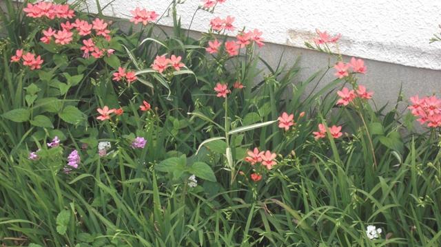 バラの花、春の花が元気に咲いています。(84)_d0181492_9574725.jpg