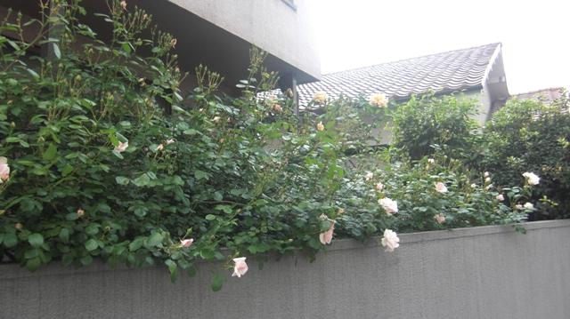 バラの花、春の花が元気に咲いています。(84)_d0181492_958723.jpg