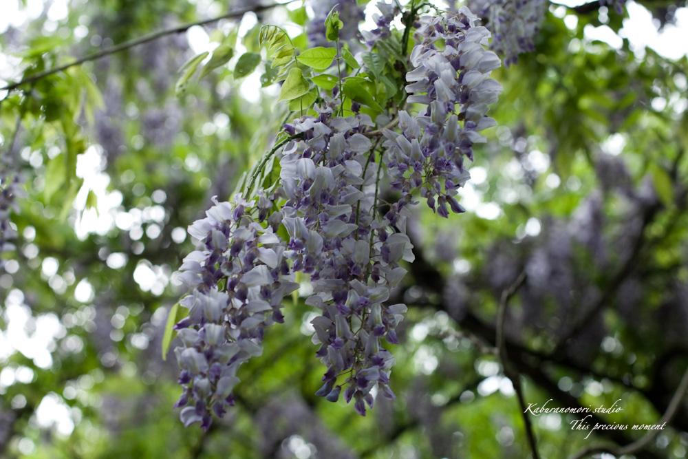 谷間に香るフジの花_c0137403_19141292.jpg