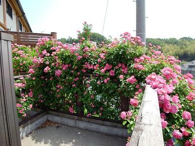 2011.5月 3年目のバラが満開です_c0038619_17543320.jpg