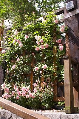 2011.5月 3年目のバラが満開です_c0038619_17552197.jpg