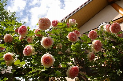 2011.5月 3年目のバラが満開です_c0038619_17553666.jpg