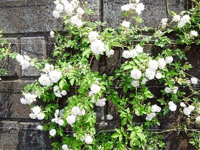 2011.5月 3年目のバラが満開です_c0038619_1834718.jpg
