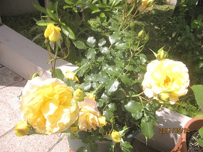 2011.5月 3年目のバラが満開です_c0038619_184151.jpg