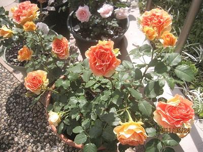 2011.5月 3年目のバラが満開です_c0038619_1842588.jpg